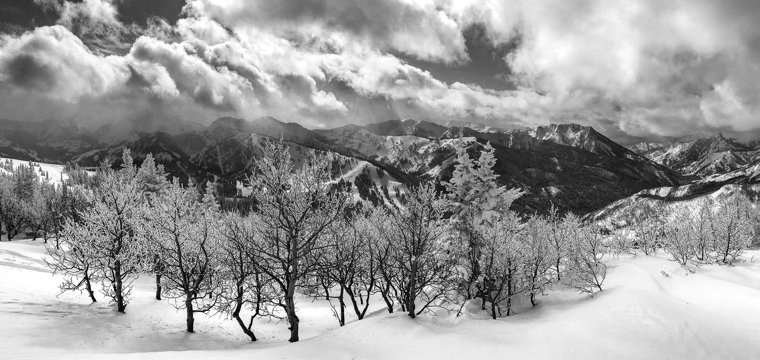 Black and White  B&W Panoramic Landscape of Snow Flocked Aspens,