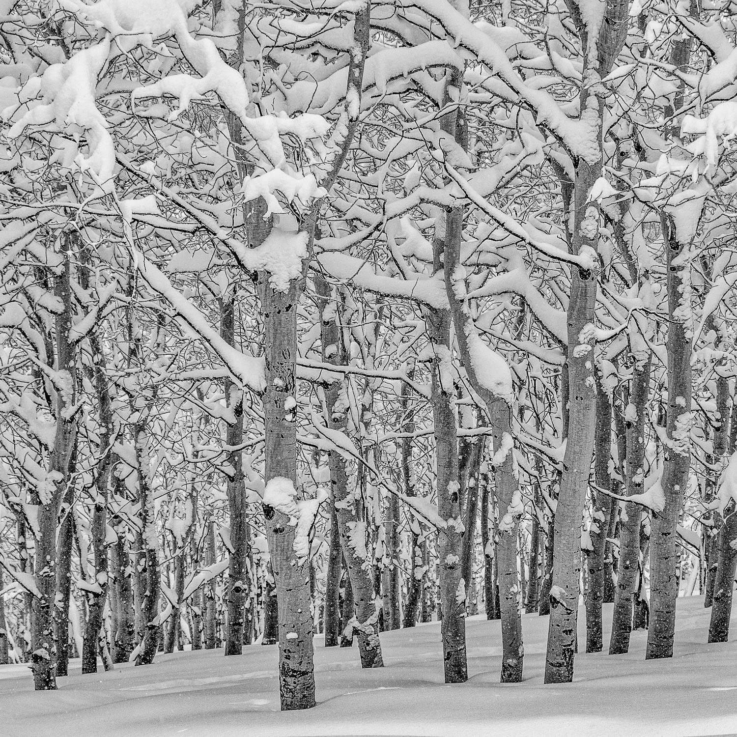Black and White B&W Photograph of Aspen Trunks and New Snow, Was