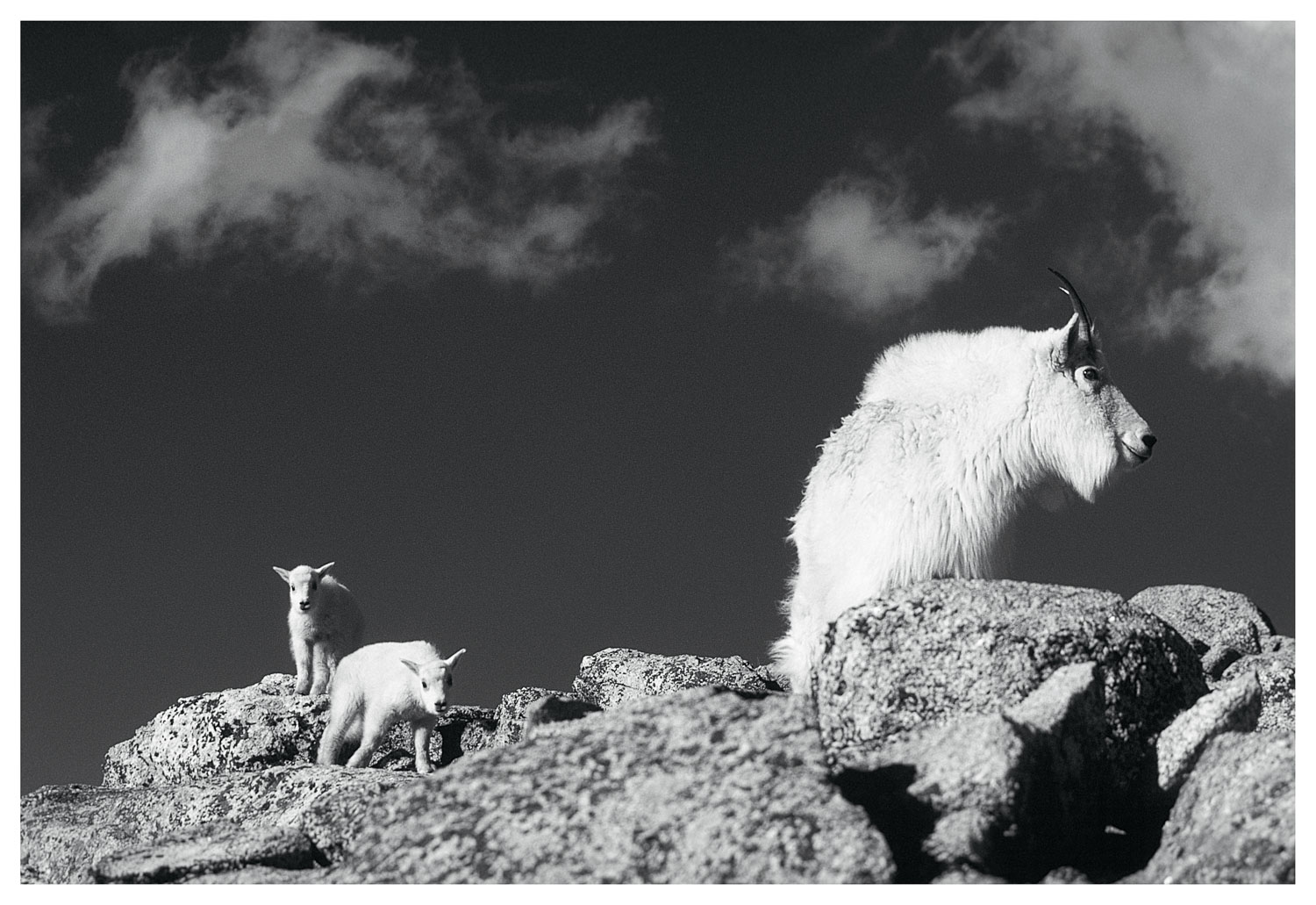 """Nanny Mountain Goat and two kids, Colorado"" Black and White B &"