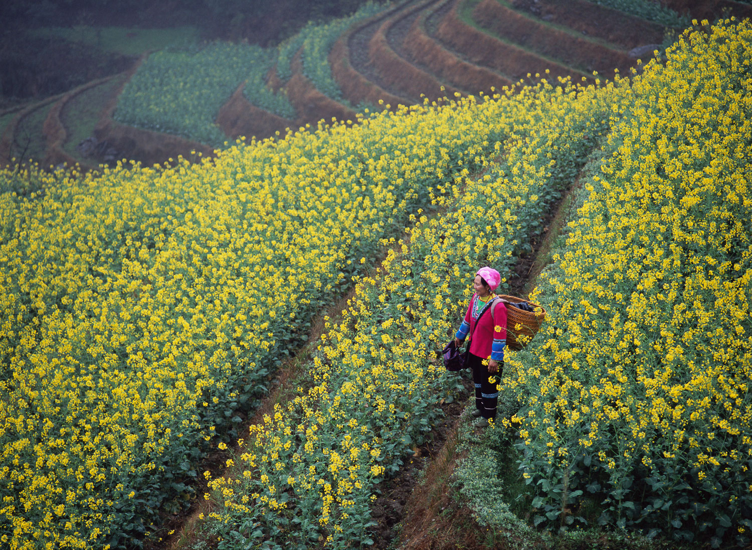Ethnic Chinese Woman at work in rapeseed, ( Canola) Field, China