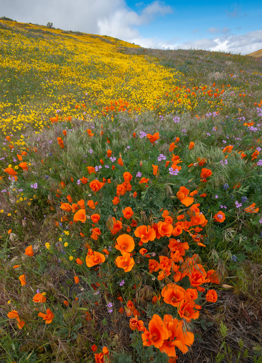 Orange Poppies, Goldfields, and Filaree are protected from Wind