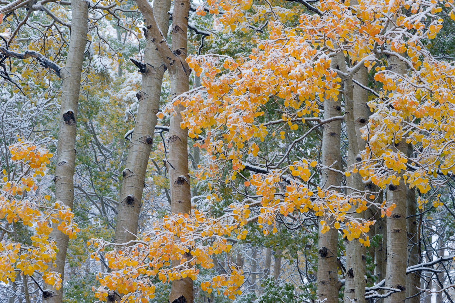Yellow Aspens in Snowstorm, Little Cottonwood Canyon, Wasatch Mo