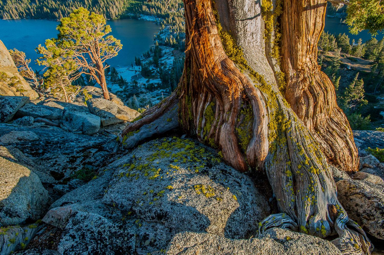 """""""Enduring Grasp"""" Trunk and Root of Sierra Juniper Tree overlooki"""
