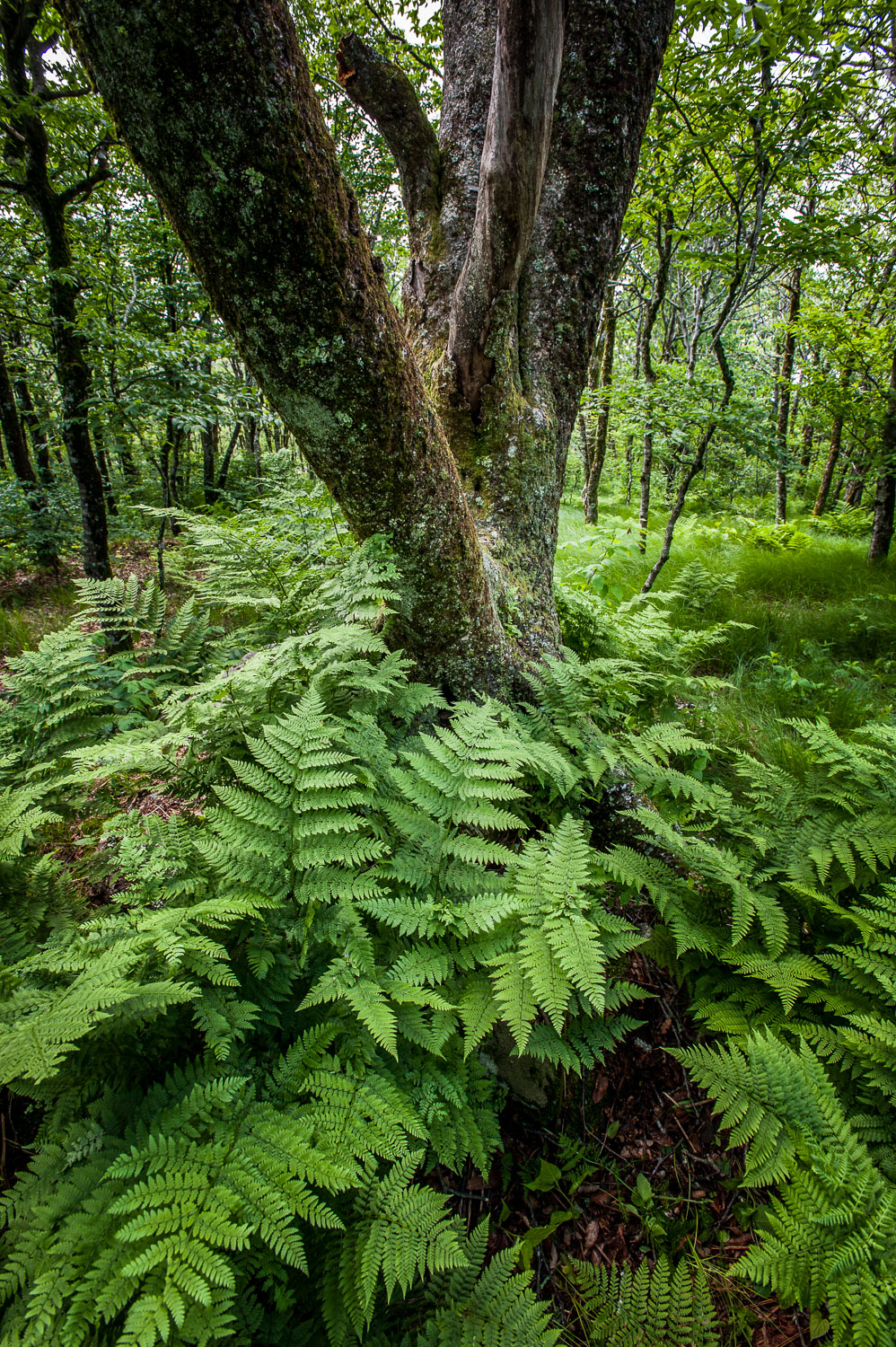 Lush Ferns in Forest surround a Beech Trunk, Smoky Mountains, Bl