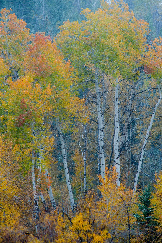Painterly Family of Fall Aspen Trees, Grand Teton National Park,