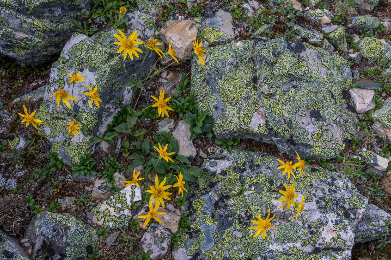 Arnica and Lichen Garden, Wildflowers, Mt Assiniboine Park, Albe