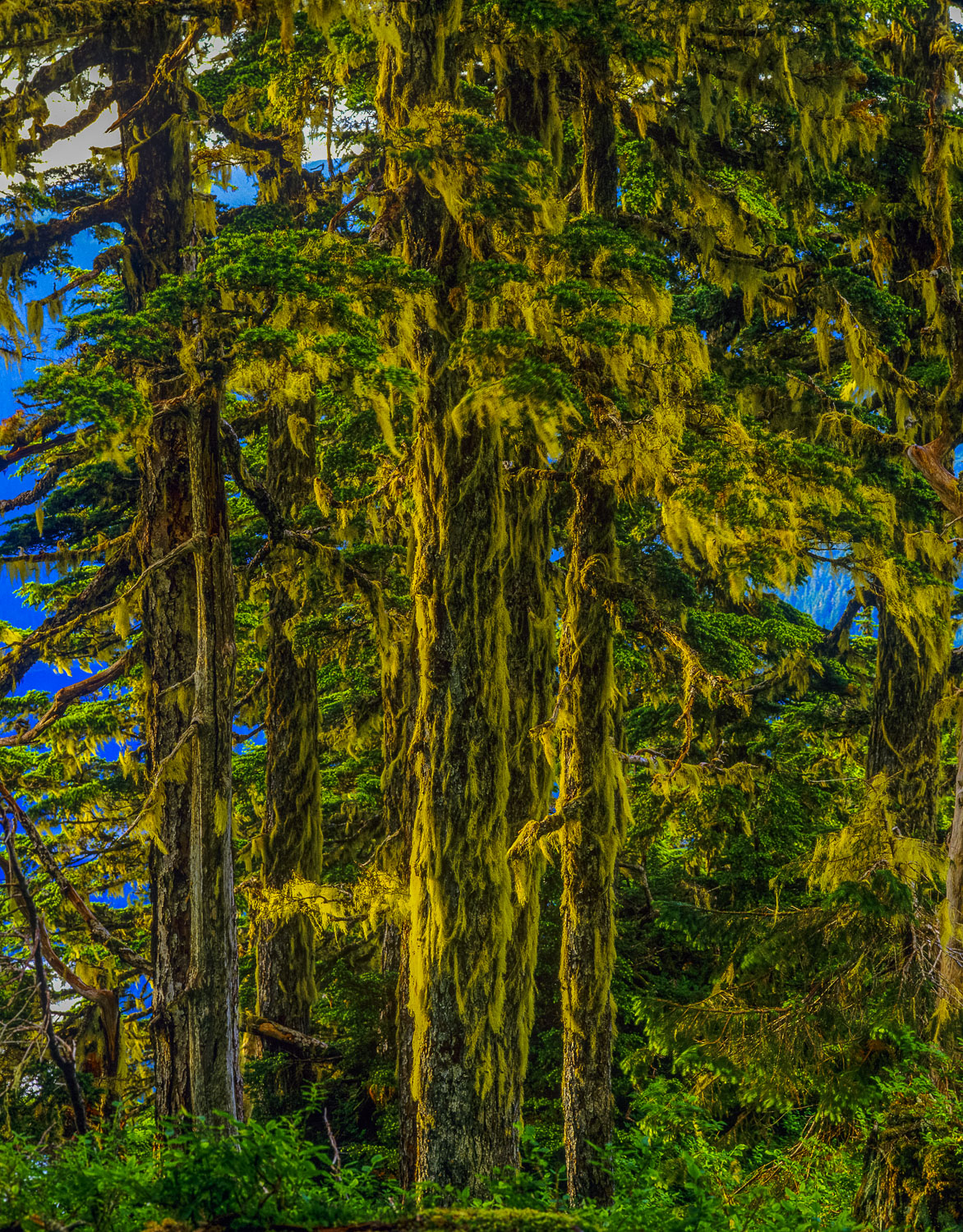 Lichen on Western Hemlock Trunks, Tongass National Forest, South