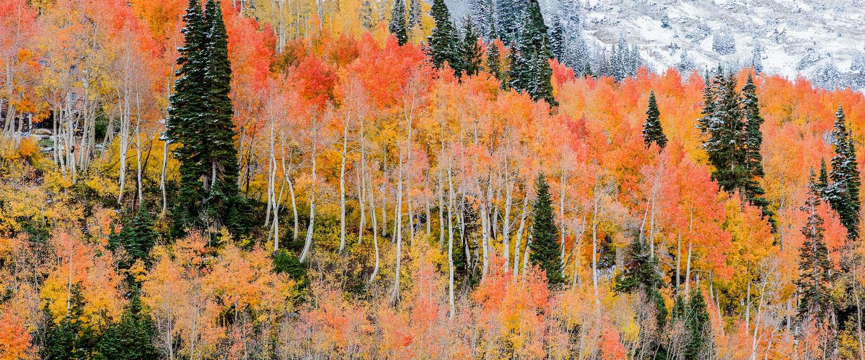 Orange and Yellow Aspen Panoramic, Little Cottonwood Canyon, Alt