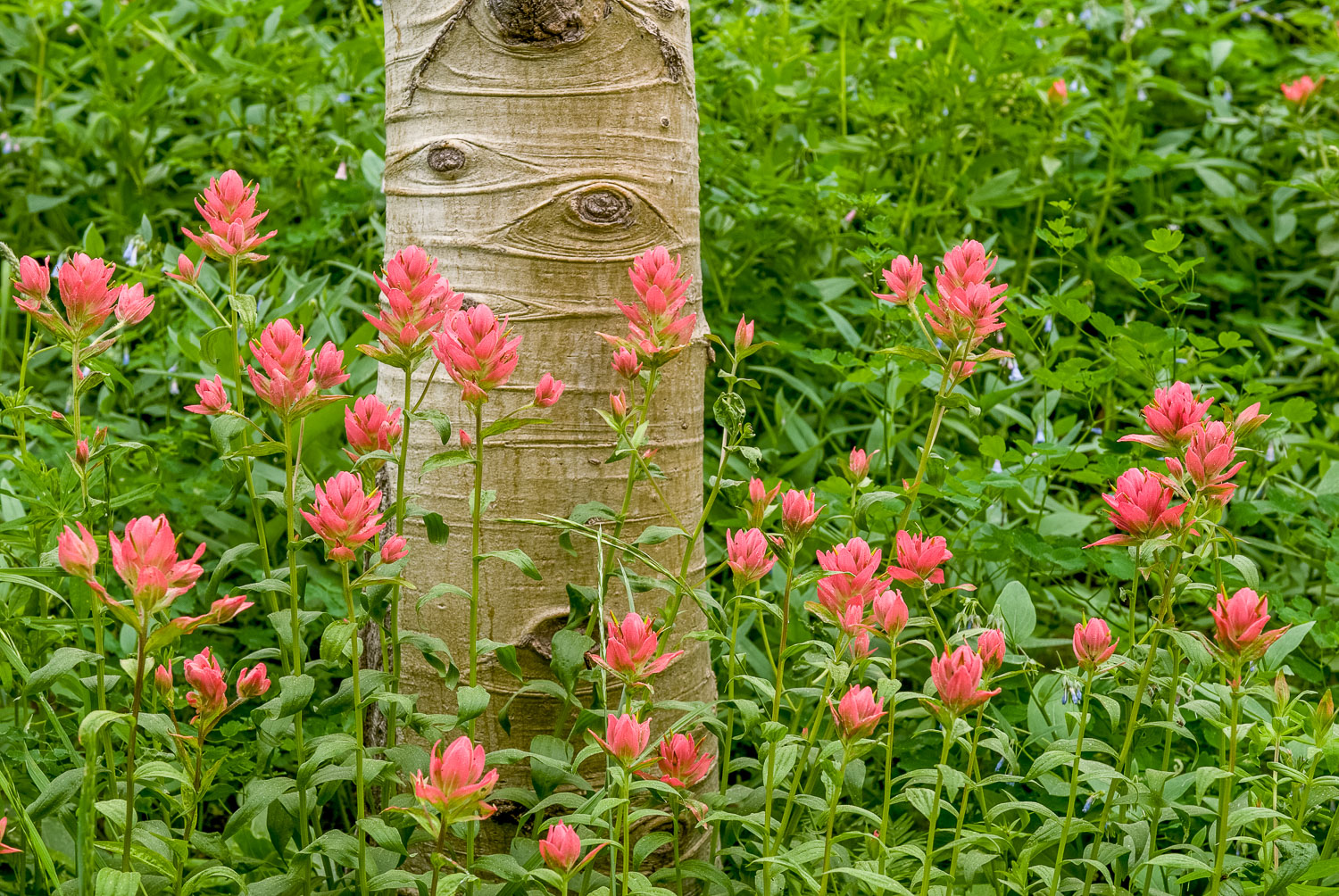 Indian Paintbrush and Aspen Trunk, Wasatch Mountains, near Alta