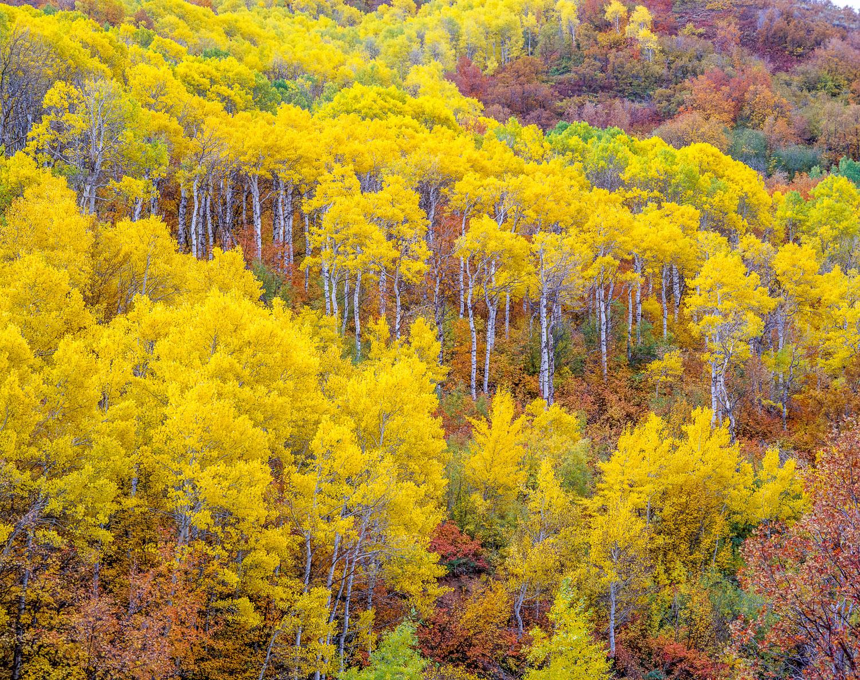 """Aspen Kaleidoscope"", Wasatch Mountains, near Salt Lake City, Ut"