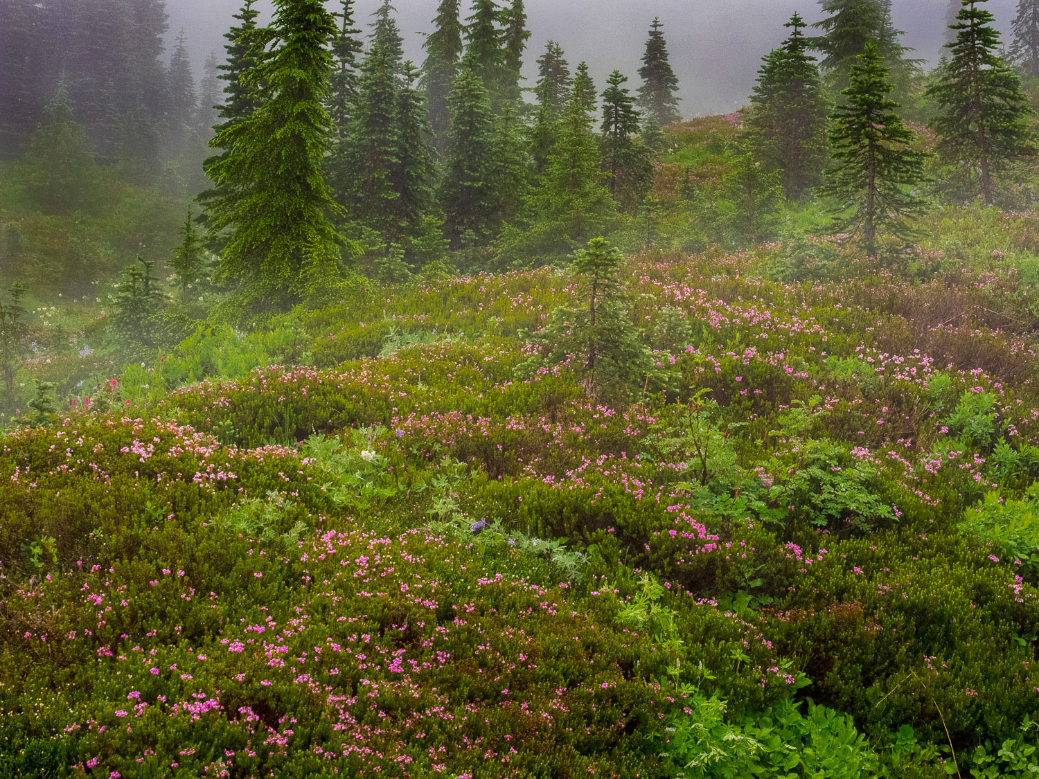 Mountain Heather and Fir Trees in Meadow on a rainy day at Parad
