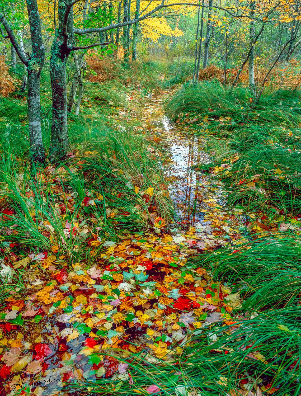 """""""Autumn Cornucopia"""" Colorful fall leaves cover a trail in Acadia"""