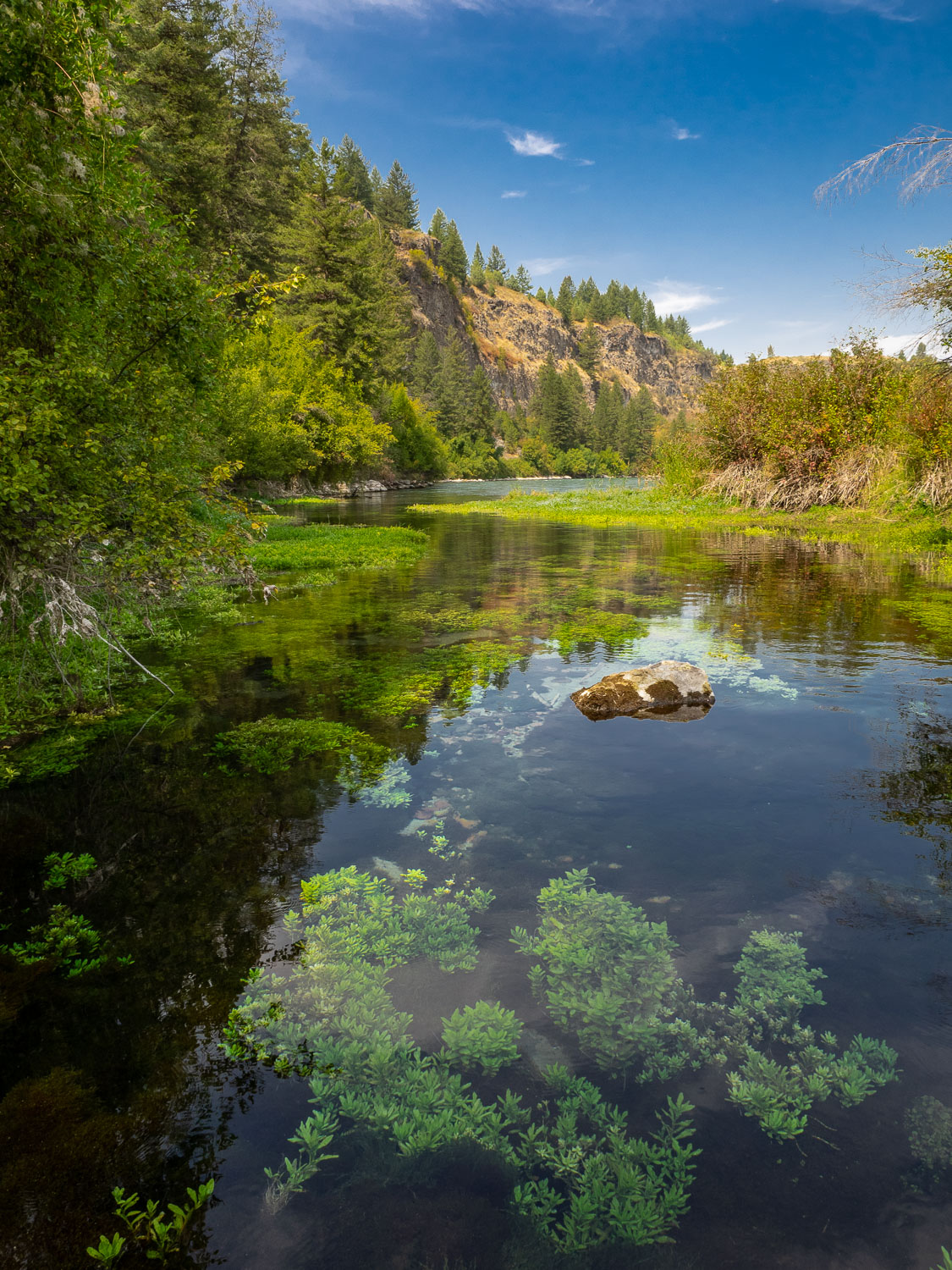 Watercress growing in Small Backwater of Snake River, Idaho. It