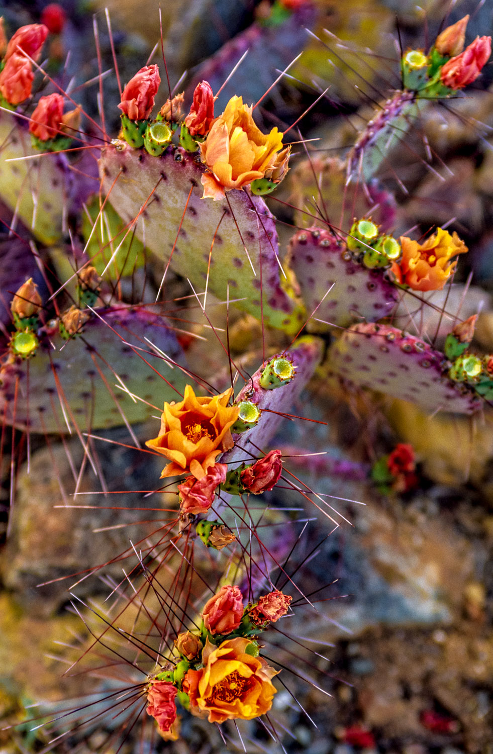 """""""Prickly Bloom"""" A Purple Prickly Pear Cactus with orange flowers"""