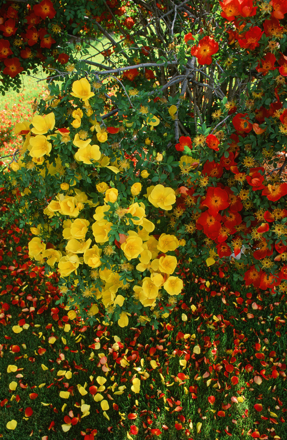 Red and Yellow Wild Roses near Payson, Utah.