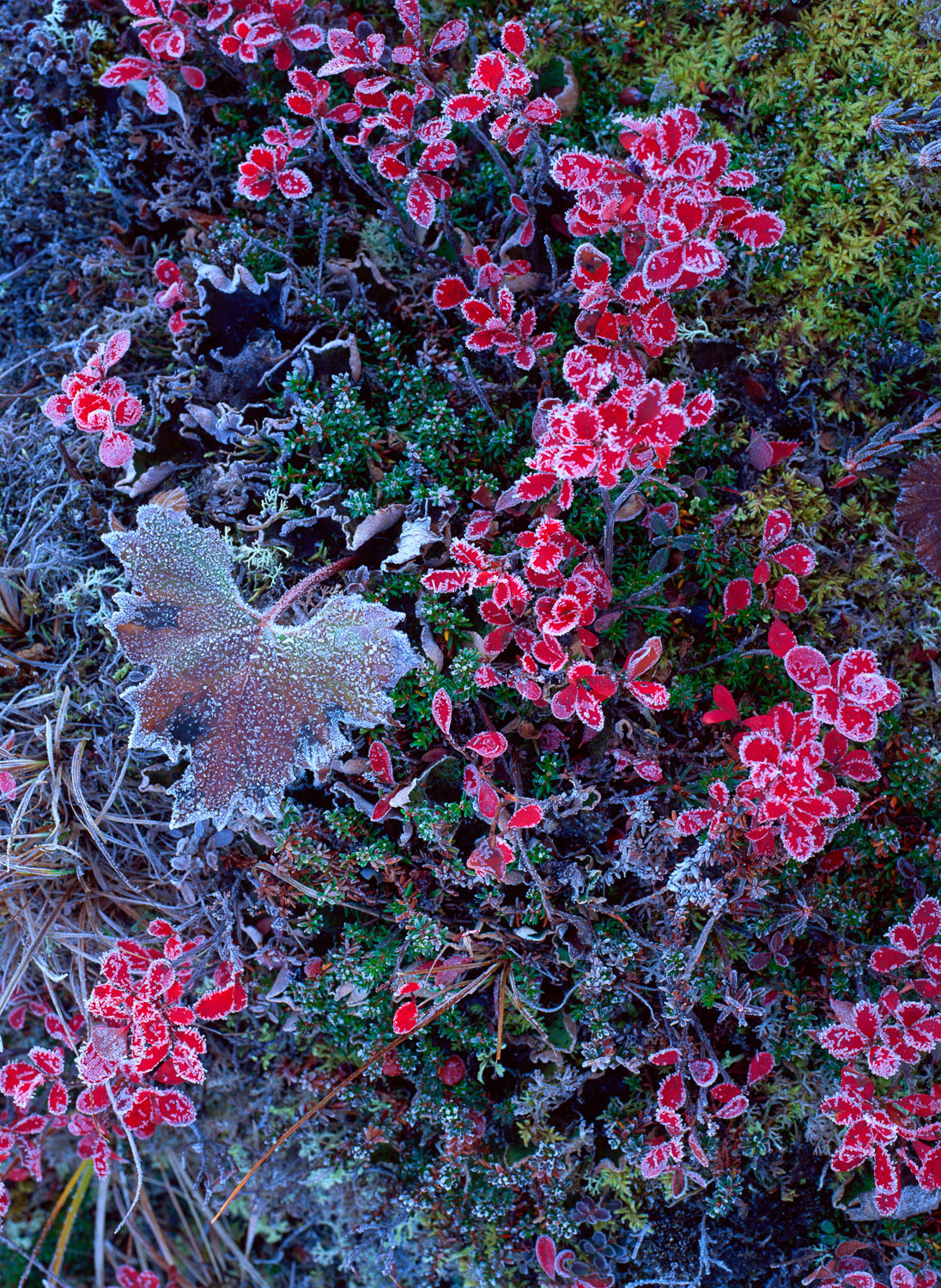 """""""Frosted Tundra"""", Red Vaccinium , heather and moss , Denali High"""