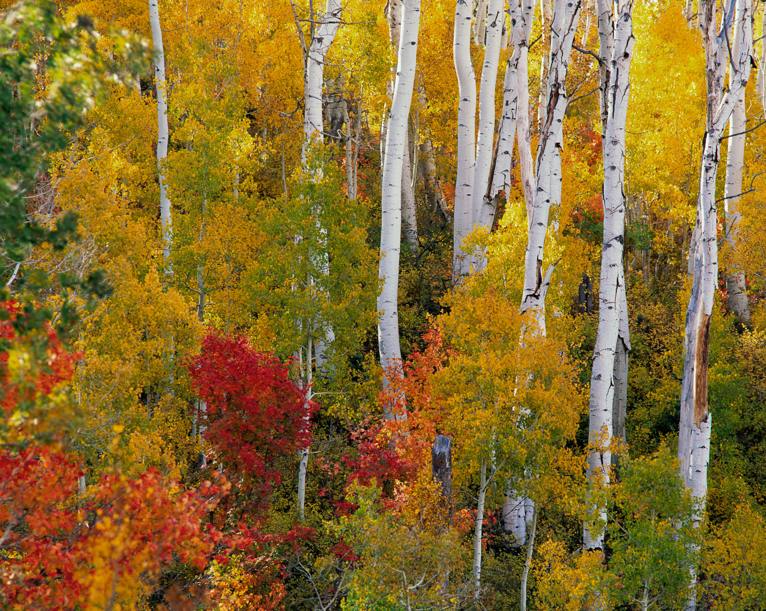 """""""Family Tree"""" Aspen Trunks and Maples along Mt. Nebo Loop, Wasat"""