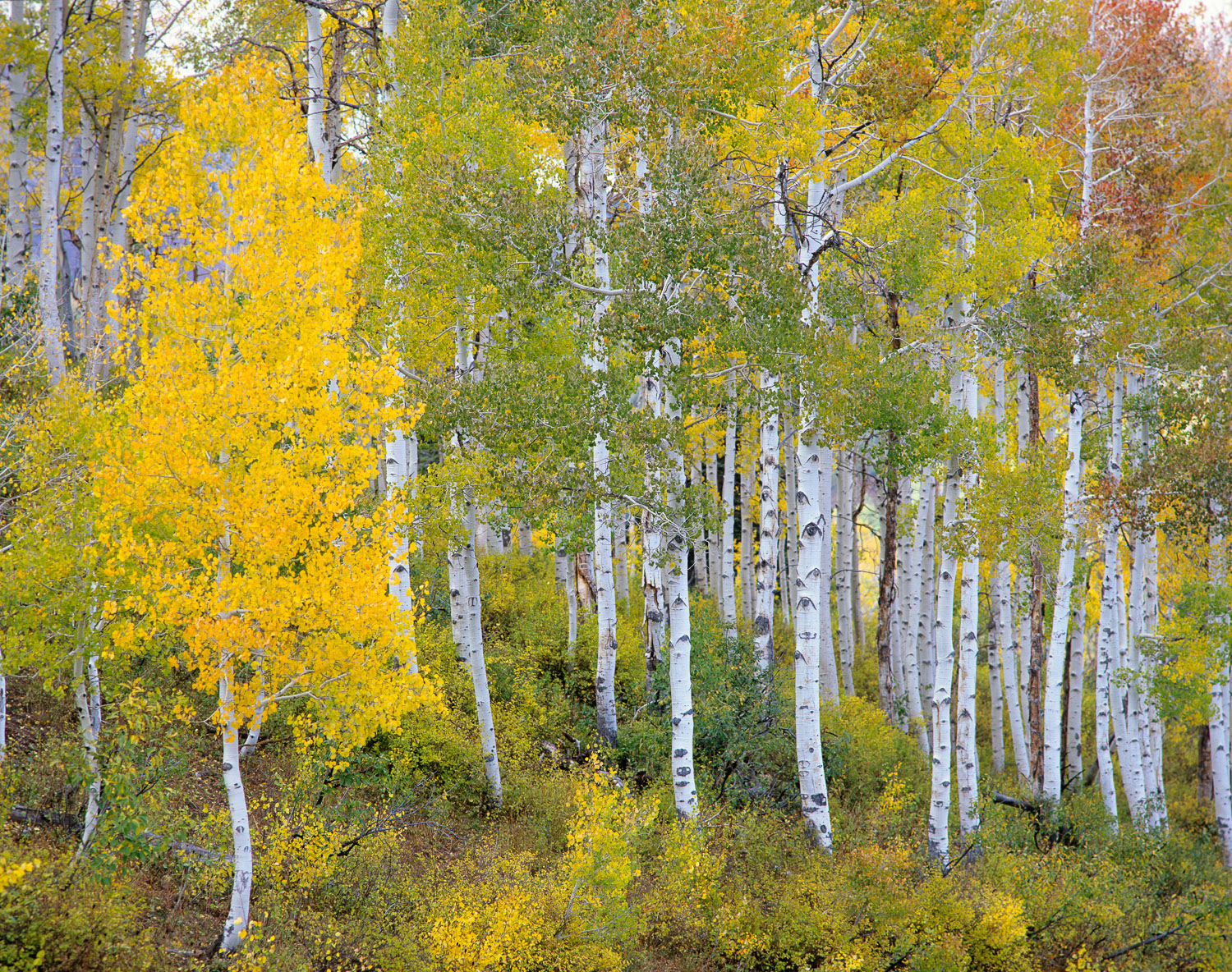 Quaking Yellow Aspen and Aspen Trunks, Mount Nebo Loop Road, Was