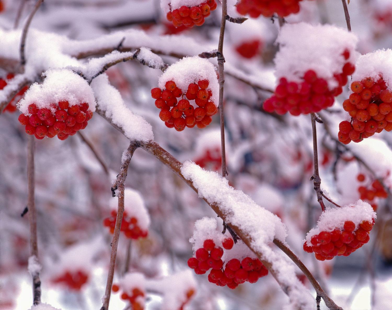 Snow on European Mountain Ash Berries, Utah. The arcade of red b