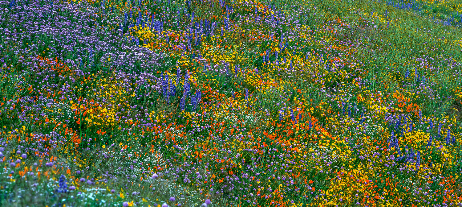 """""""Explosion of Color"""", Wildflowers at Antelope Poppy Reserve, Cal"""