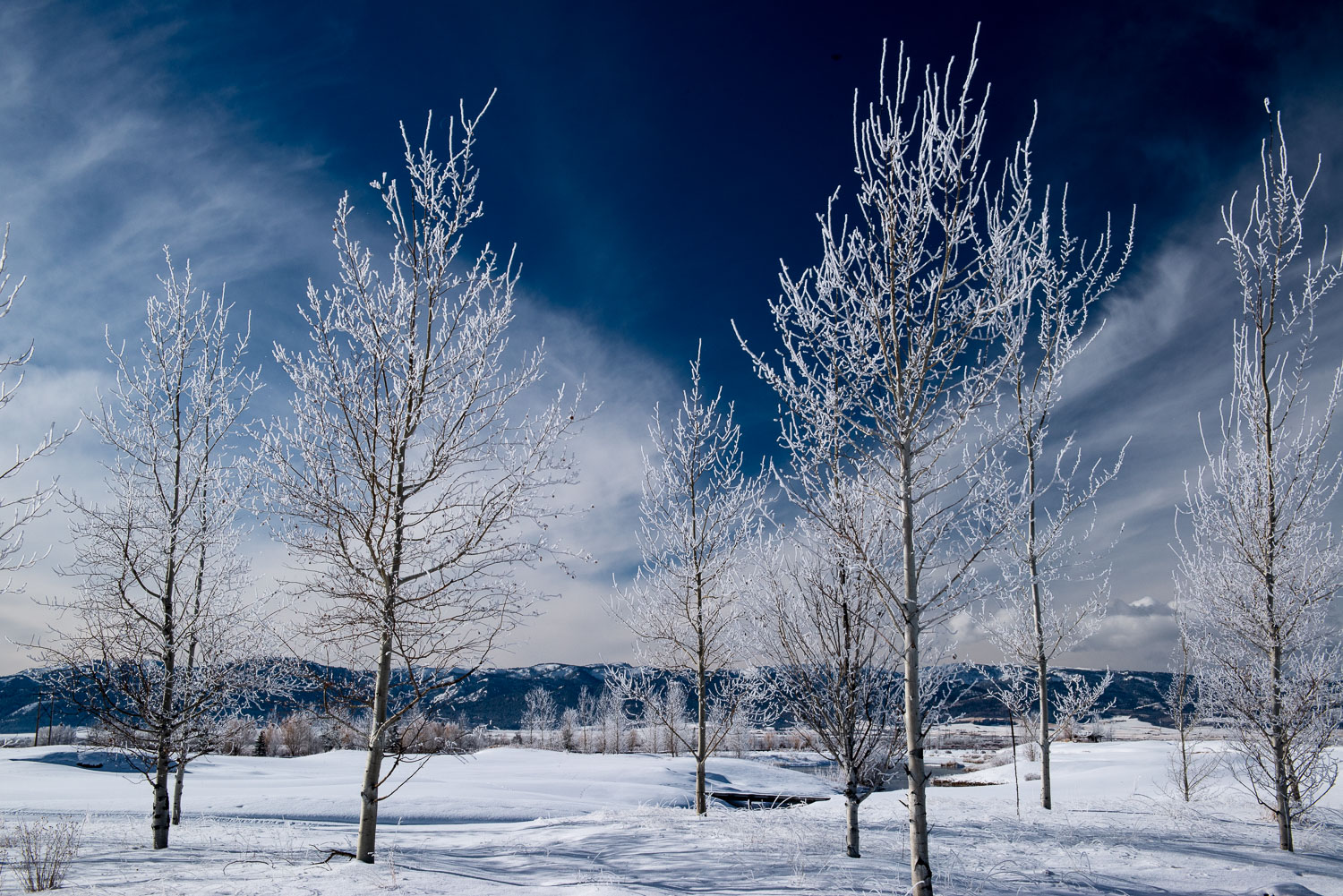Rimed Winter Aspens, Teton Valley, Driggs Idaho