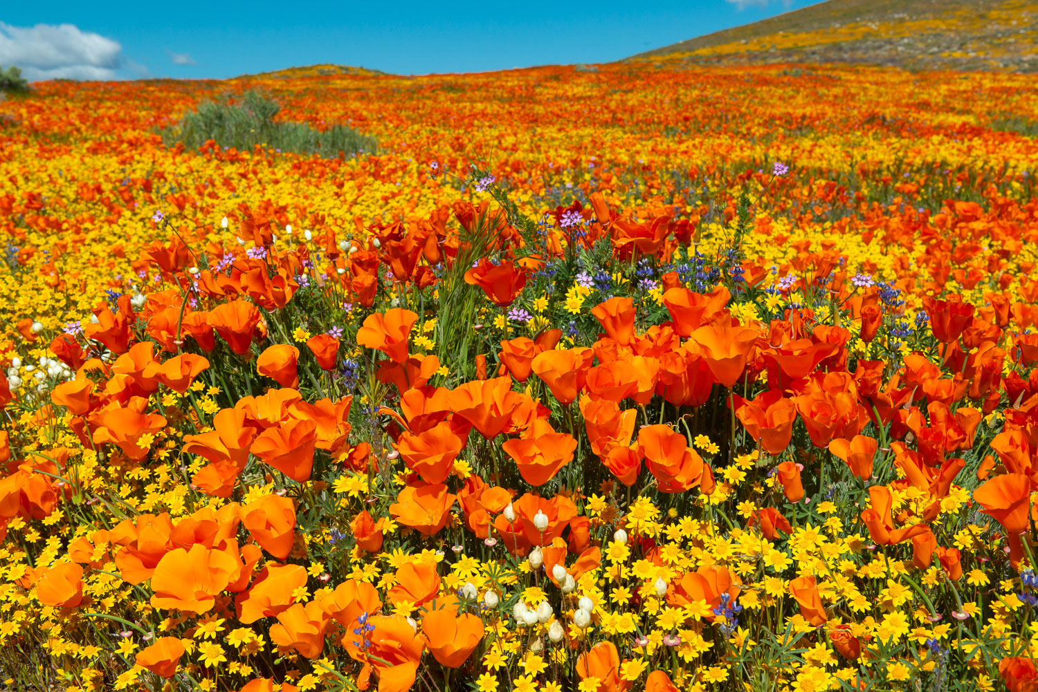 Orange, Yellow, and Purple  Superbloom Wildflowers Fill the fram