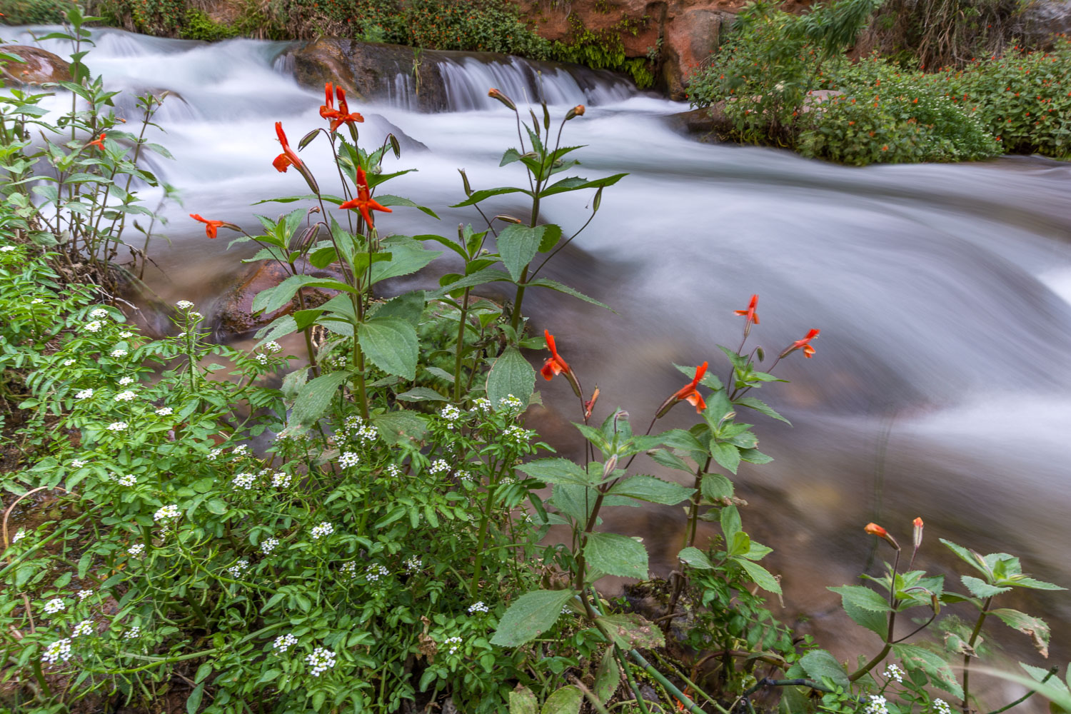 Monkey Flowers, Mustard, and Flowing Creek, Grand Canyon Nationa