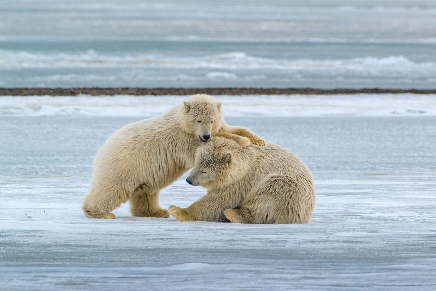 """Just Playing for Fun"" Polar Bear Cubs of Kaktovic, Alaska, Arct"