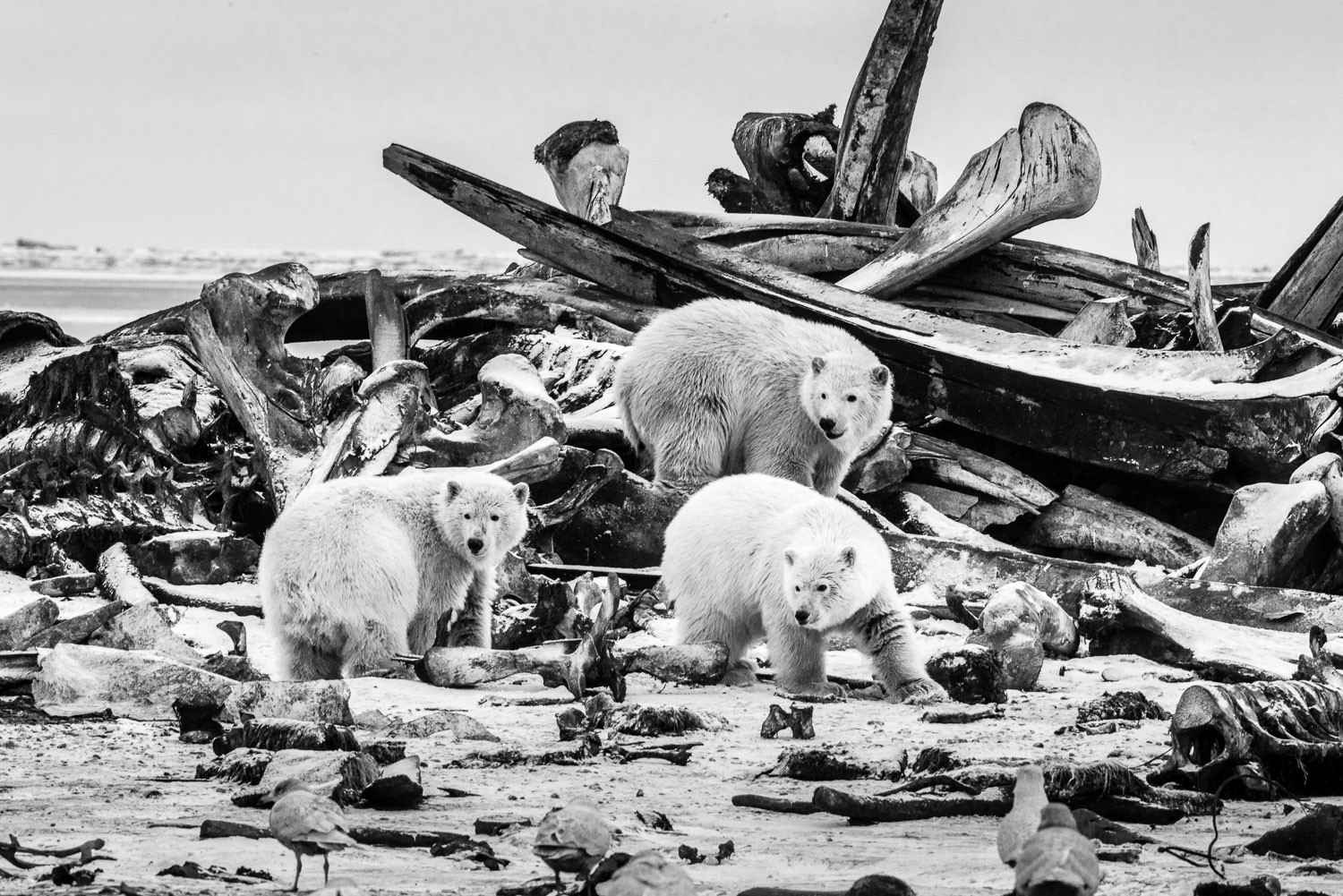 Black and White B&W Photograph of Young Polar Bears protecting t