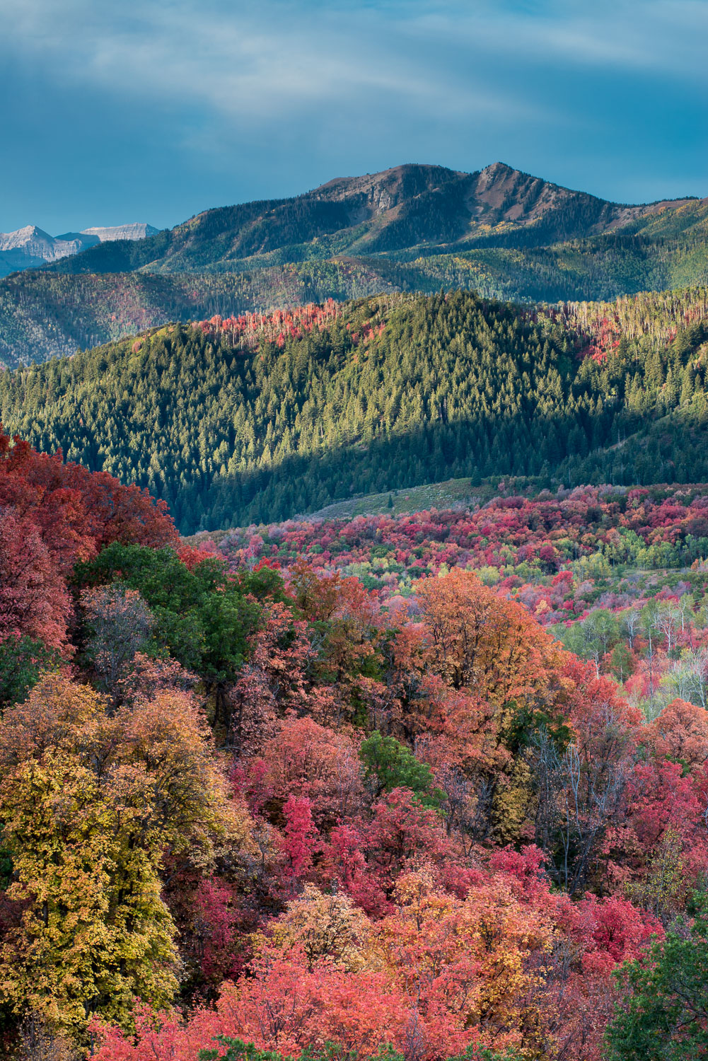 Kaleidoscopic Maples and Oaks, Wasatch Mountains near Midway and