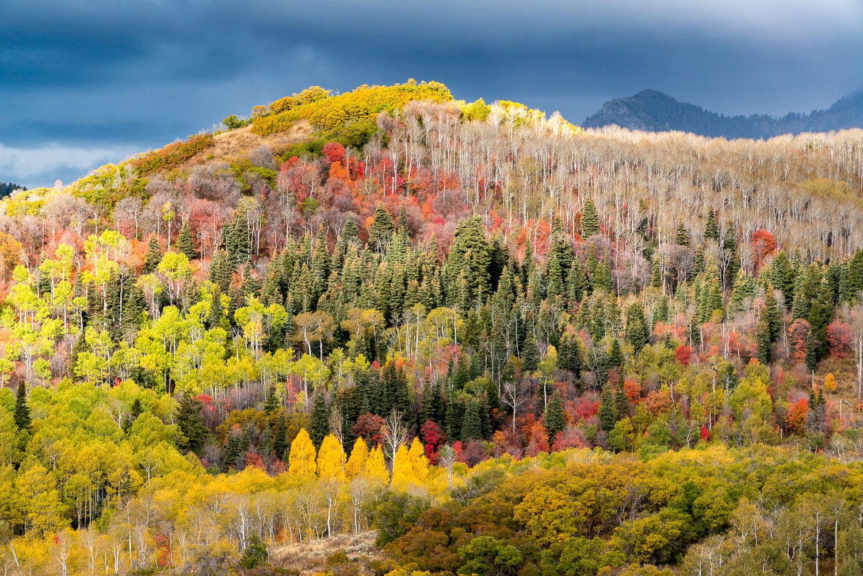 Brilliant Fall Foliage near Alpine Scenic Loop, Wasatch Mountains, Utah