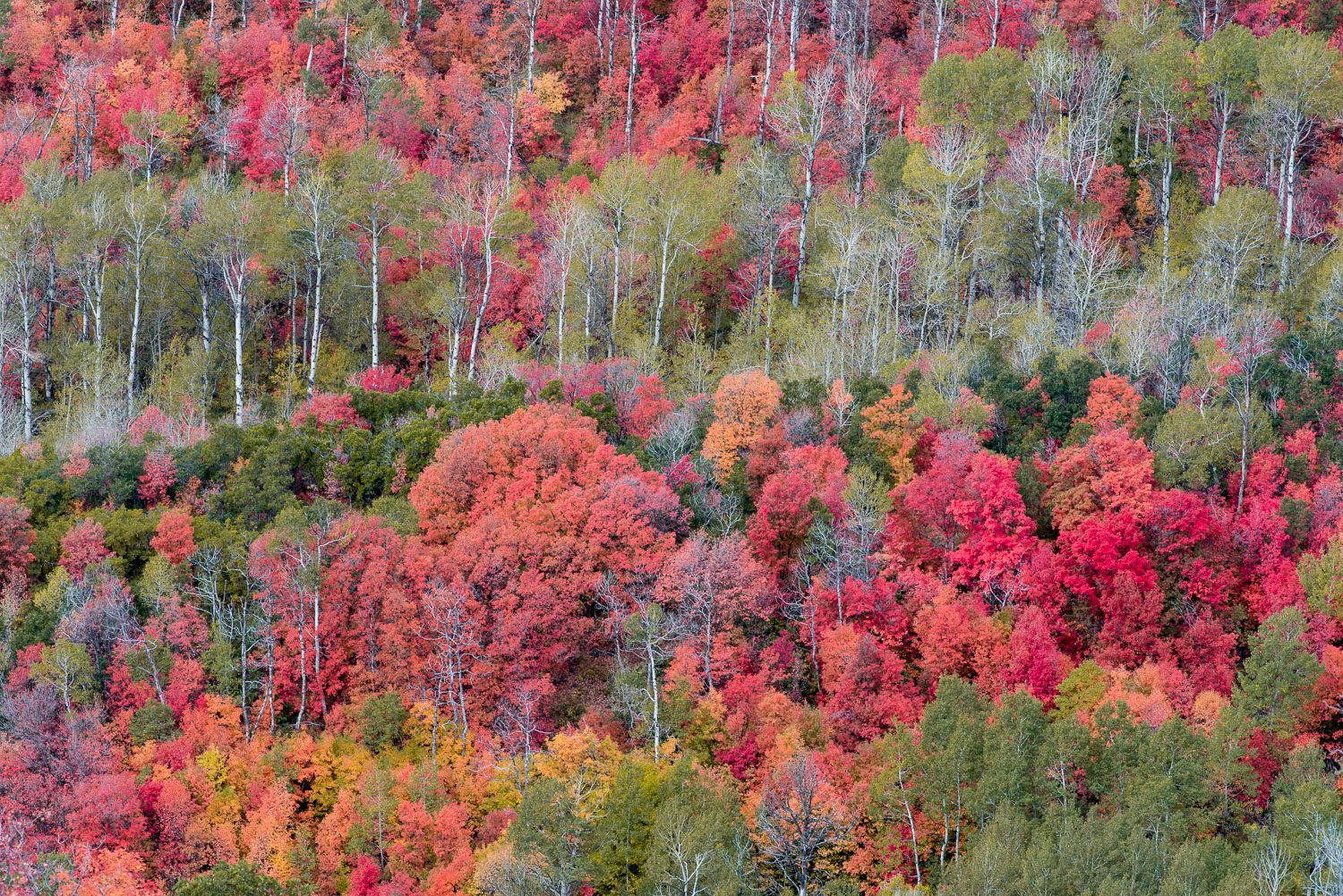 Maples, Aspens, and Oak: Brilliant Fall Foliage near Midway and