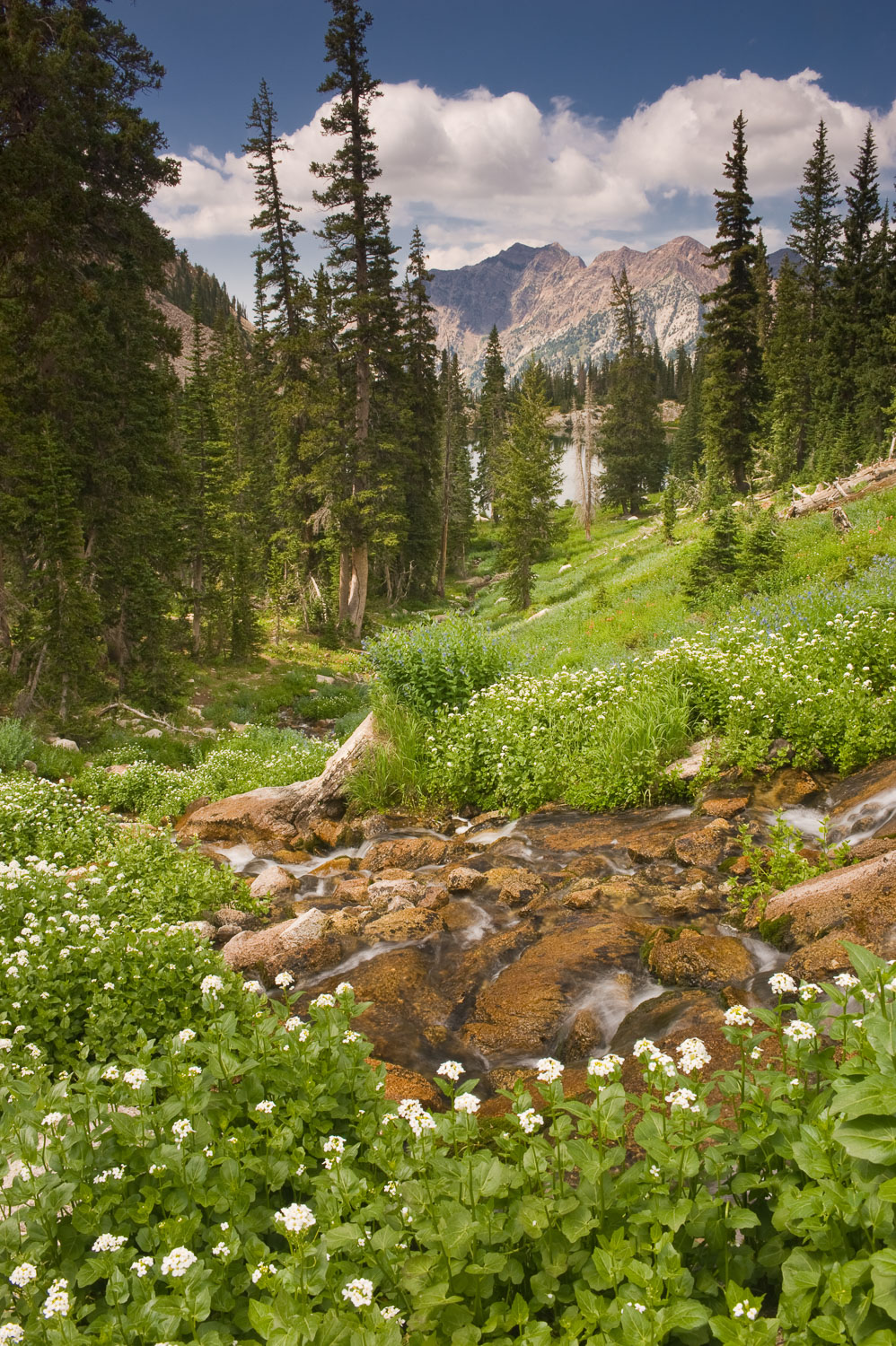Wildflowers and Creek above Red Pine Lake, Wasatch Mountains, ne