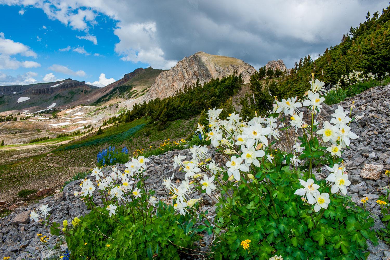 Columbine in Alaska Basin: near Grand Teton and Jackson Hole, W