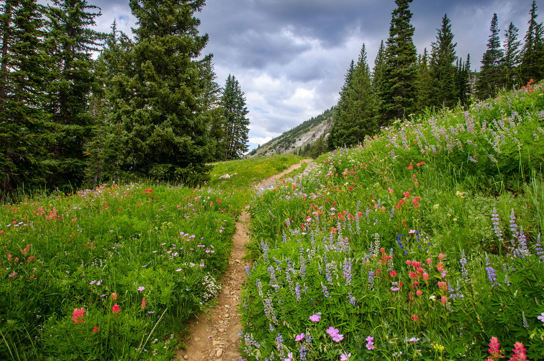 Path Amongst the Wildflowers, Albion Basin, Alta, Utah