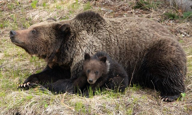 Mother Grizzly Bear with Cub of the Year. Cub has natal collar