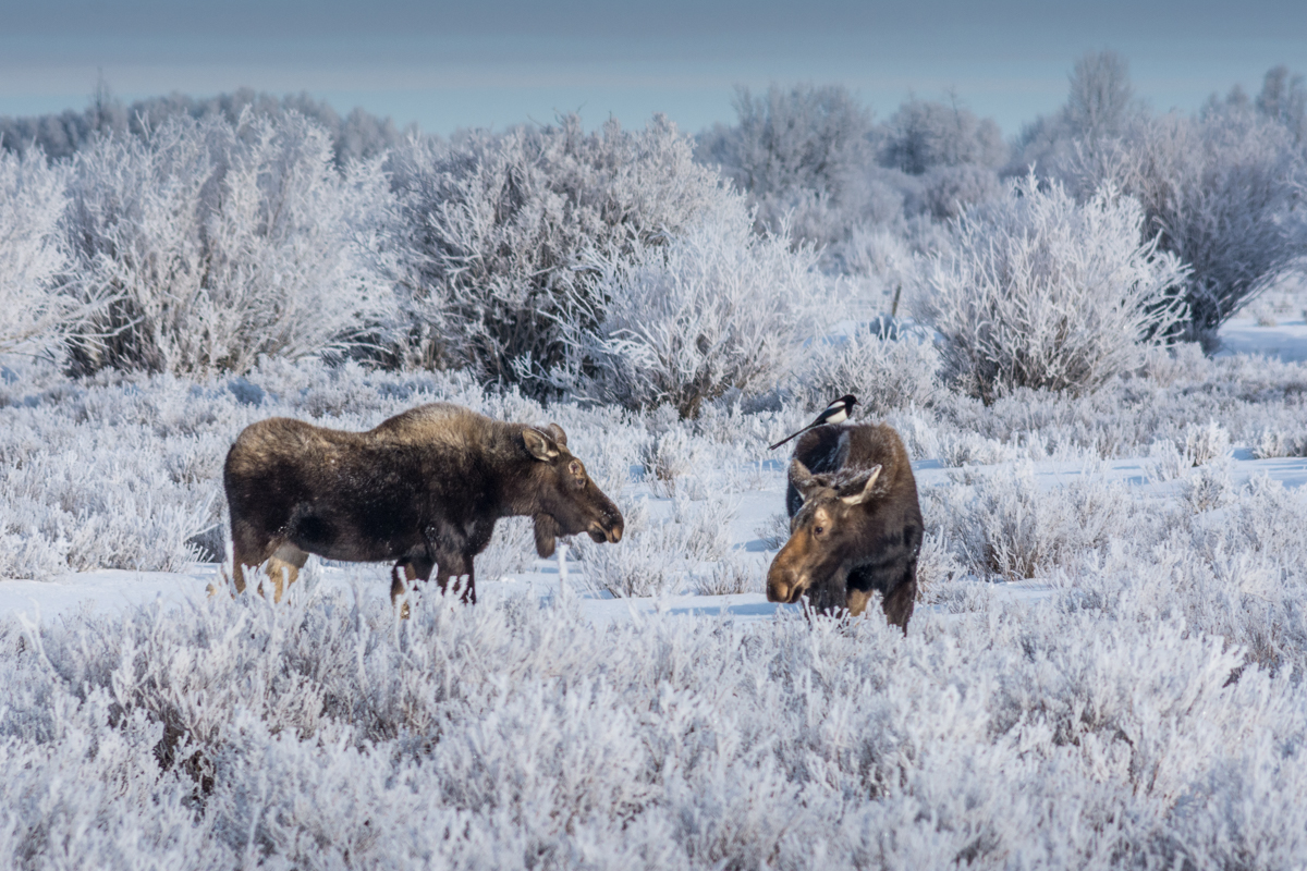 A huge bonus to a frosty cold morning in the wetlands near the Teton River Valley in Driggs , Idaho were a couple of cow moose and a Magpie.