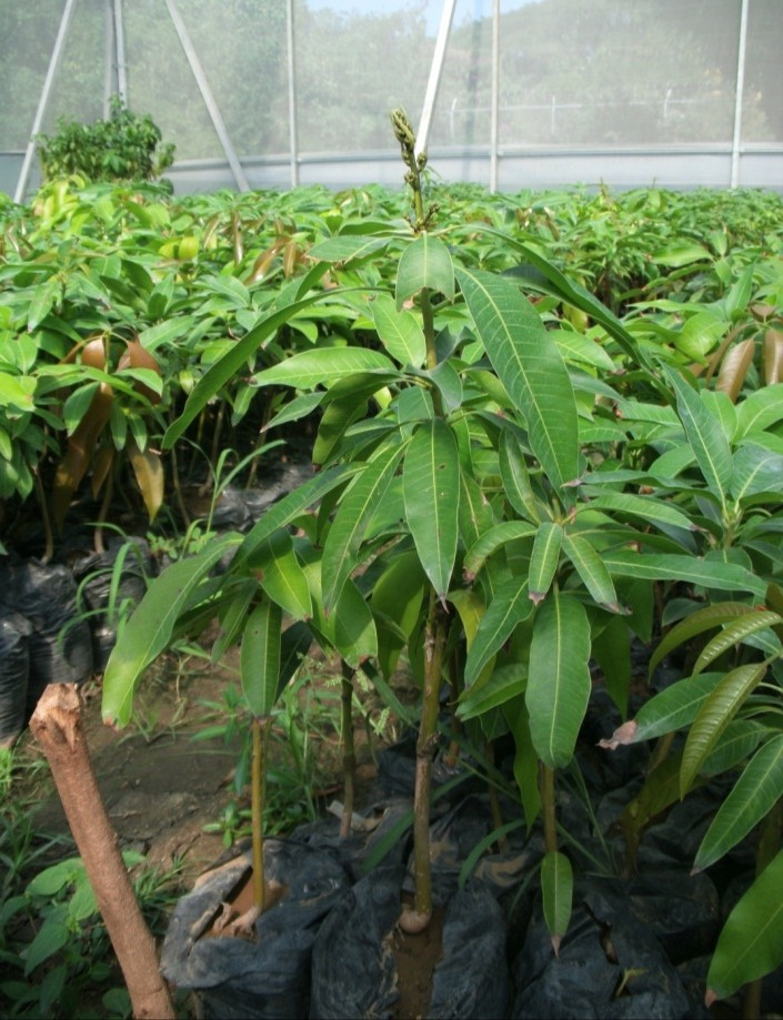 mango trees flowering