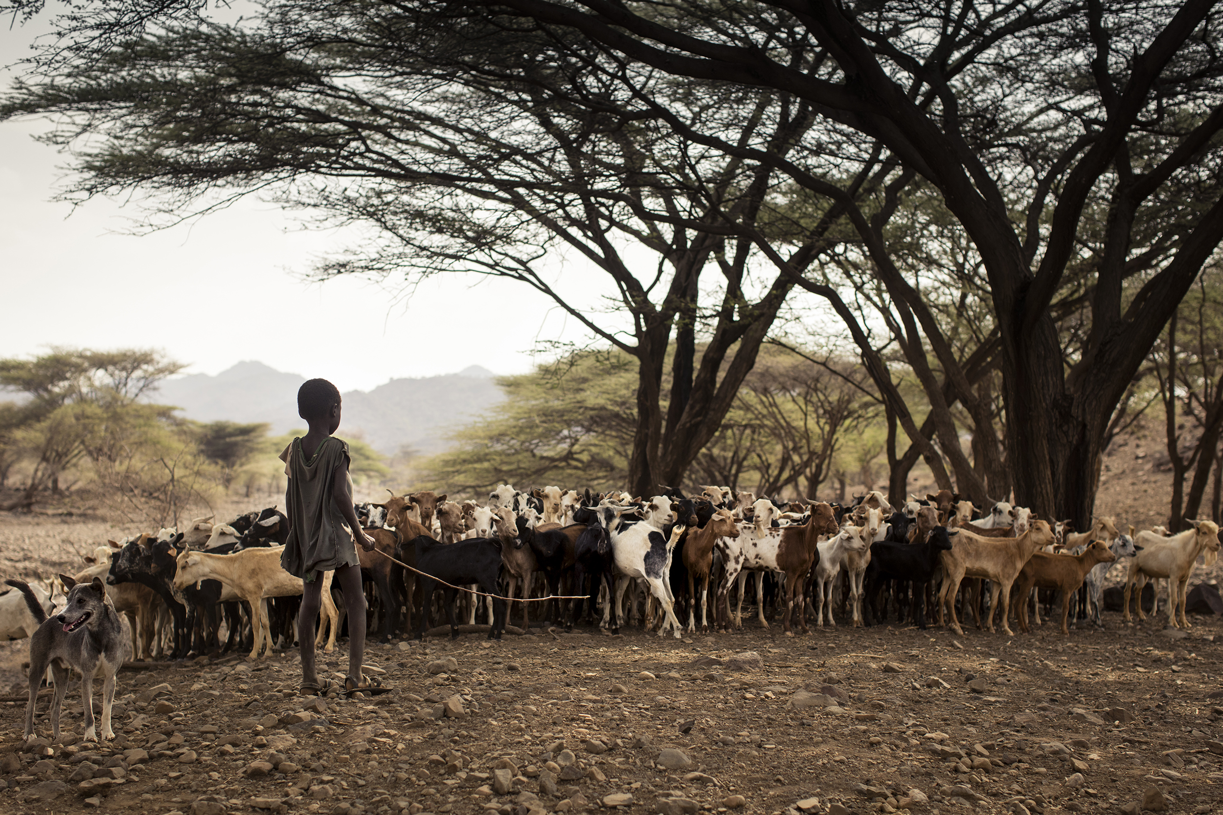 In Turkana North, the animals that the people of the region rely upon are often the first to suffer and die when a drought hits.  [Photo courtesy  GI-INC ]