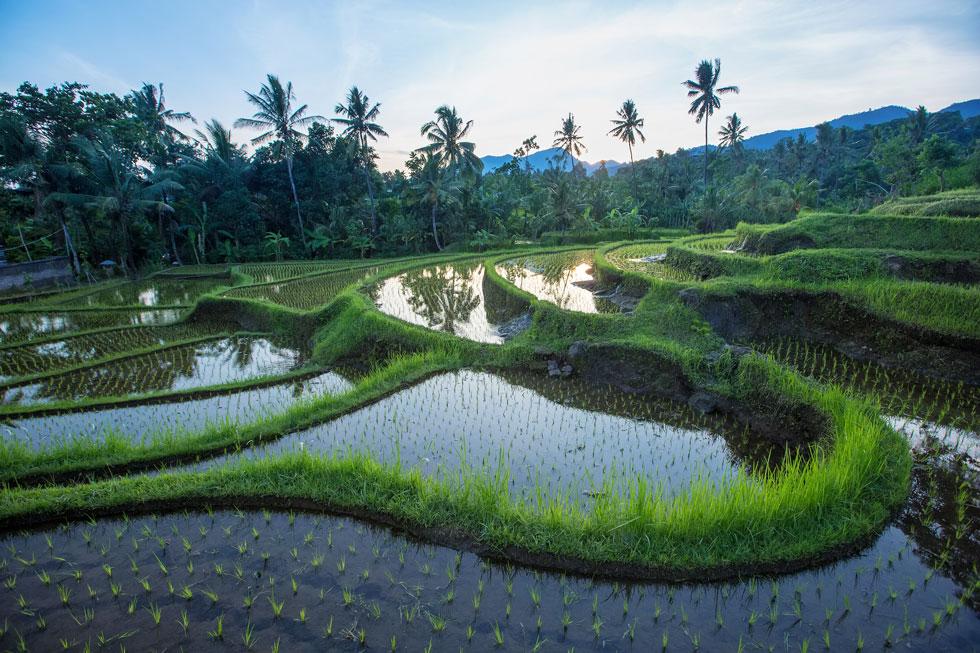 rice paddies.jpg