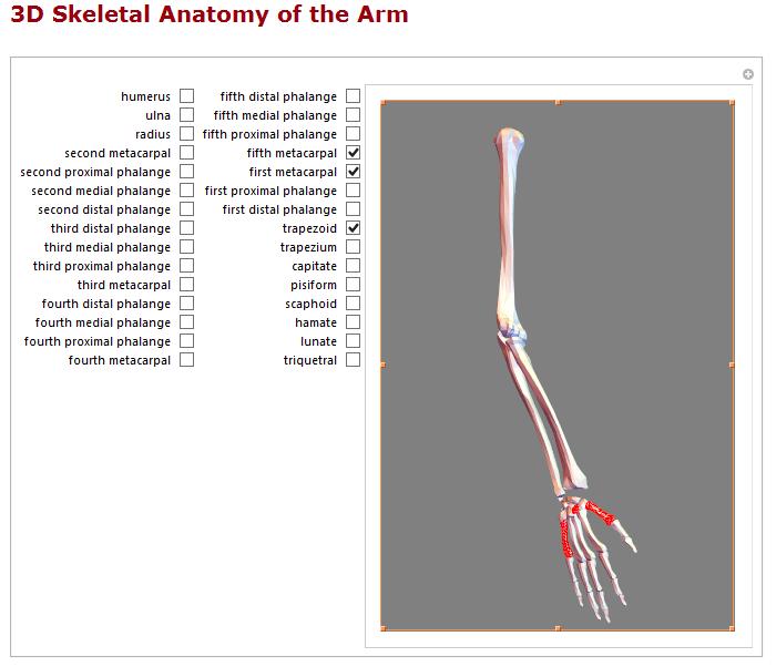 3D skeletal anatomy of the arm