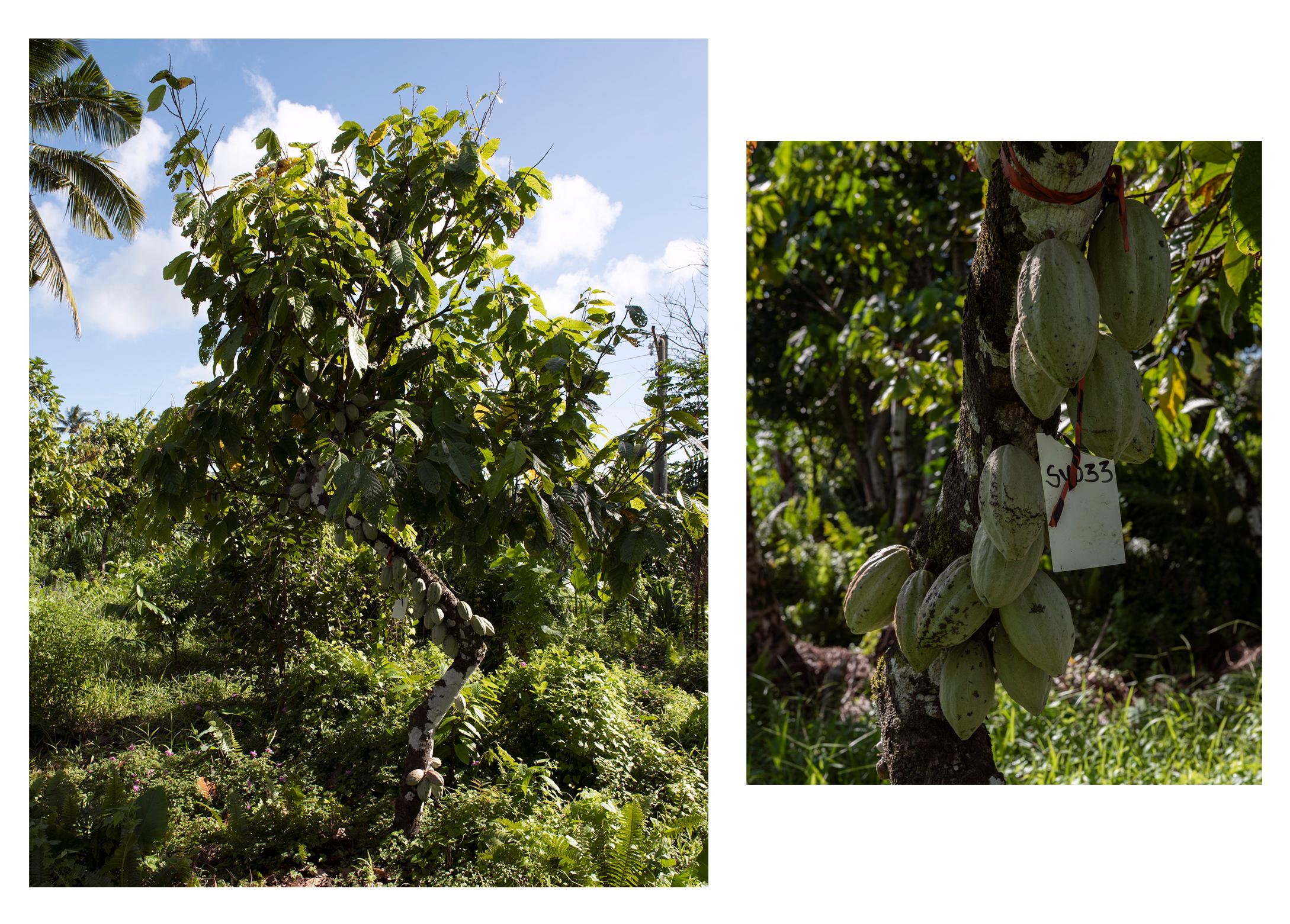 Mature koko tree, Saipipi, Savai'i