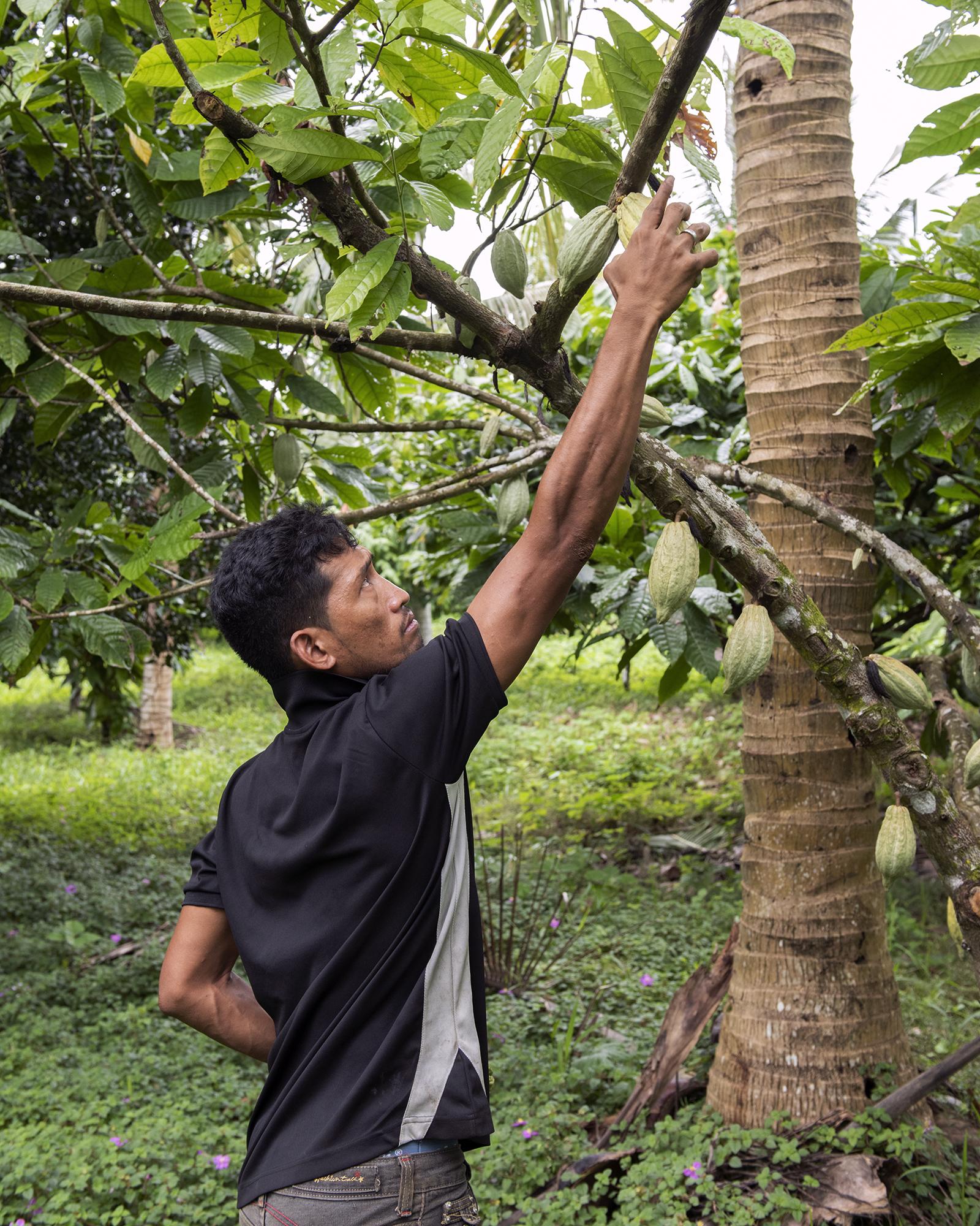 Tile To'a harvests koko