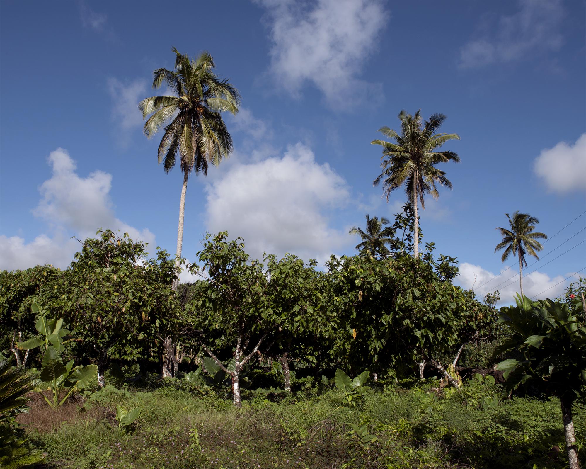 Koko plantation, Saipipi, Savai'i