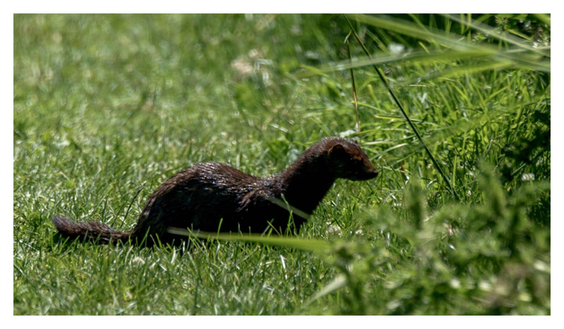 2013-06-17 Ladner Reifel Sanctuary American Mink-4