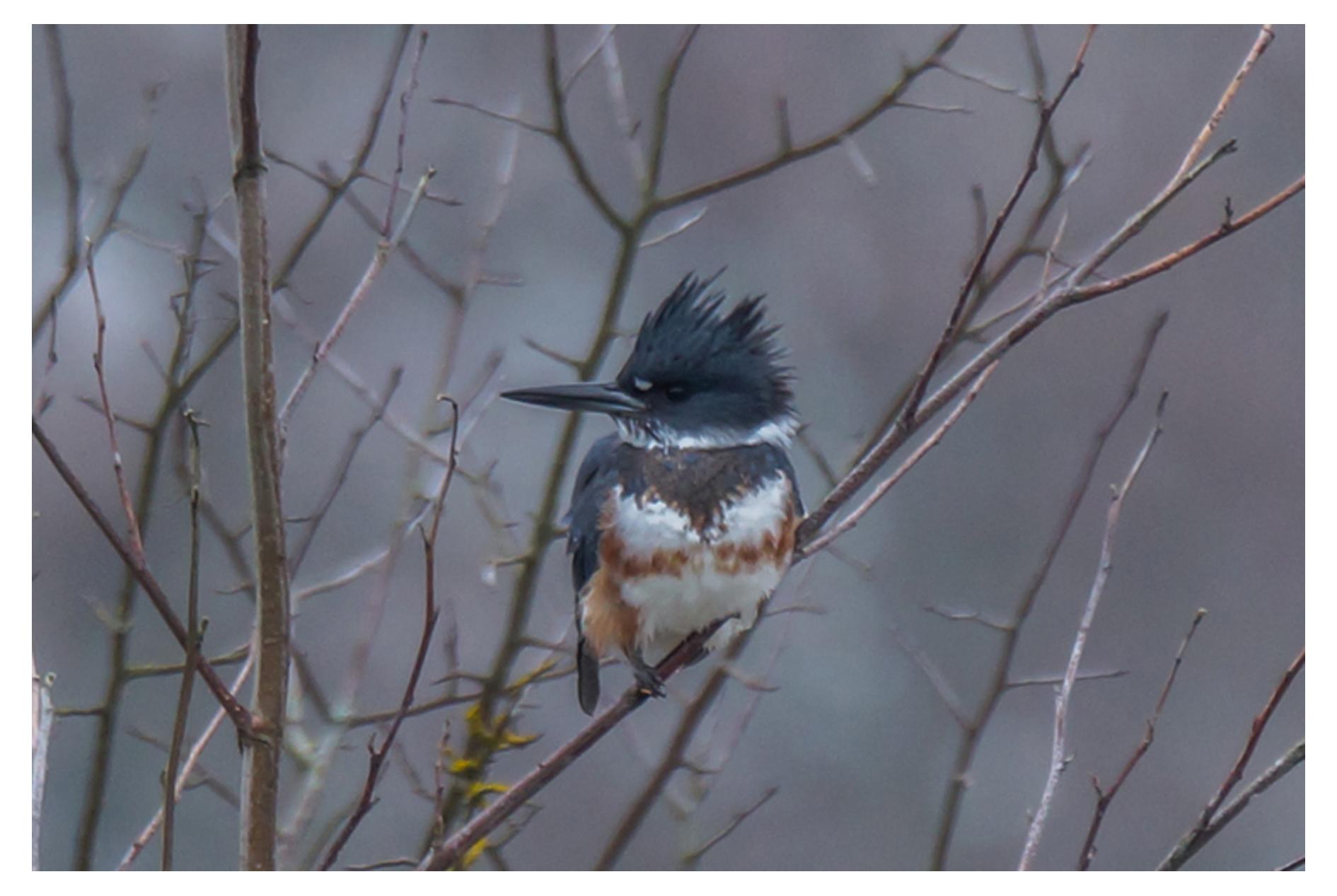 2014-01-18 Ladner Reifel Belted Kingfisher-29