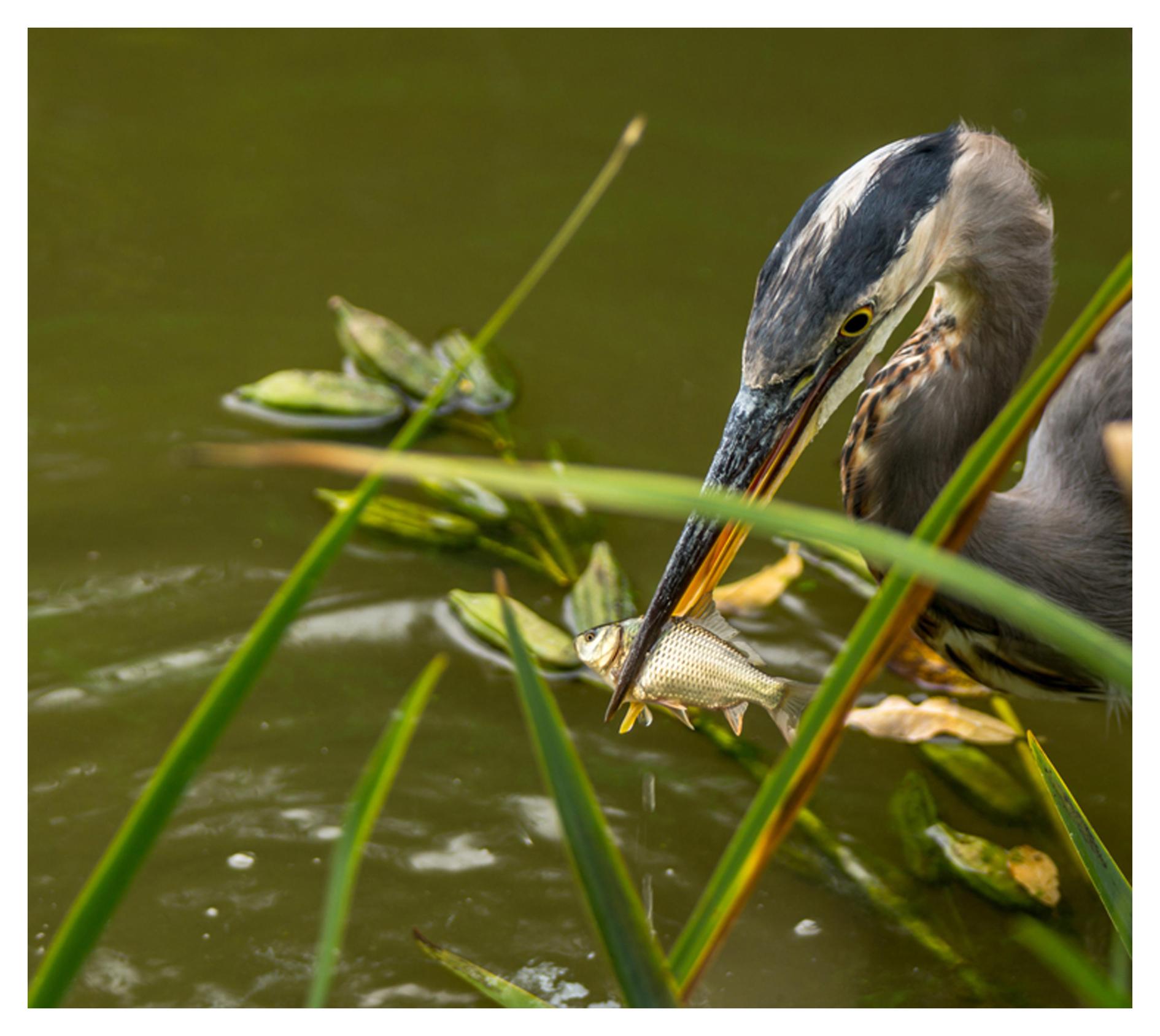 2014-09-01 Vancouver Stanley Park Lost Lagoon Heron 01-1