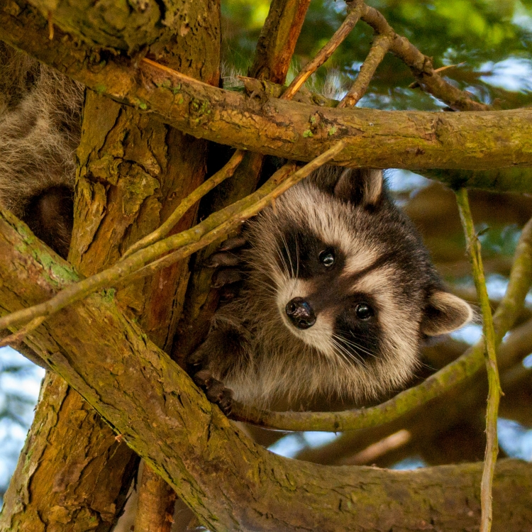 ~~~~The Raccoon~~~~