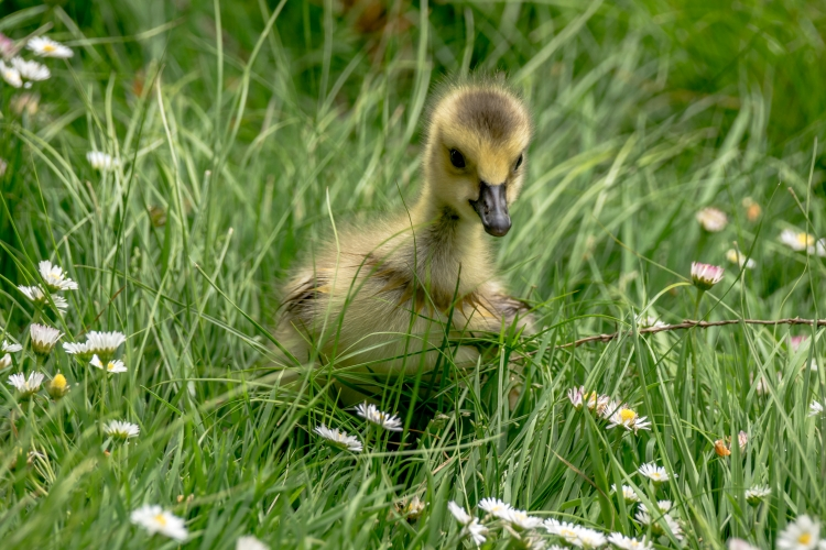 ~~~~The Gosling and the Daisies~~~~