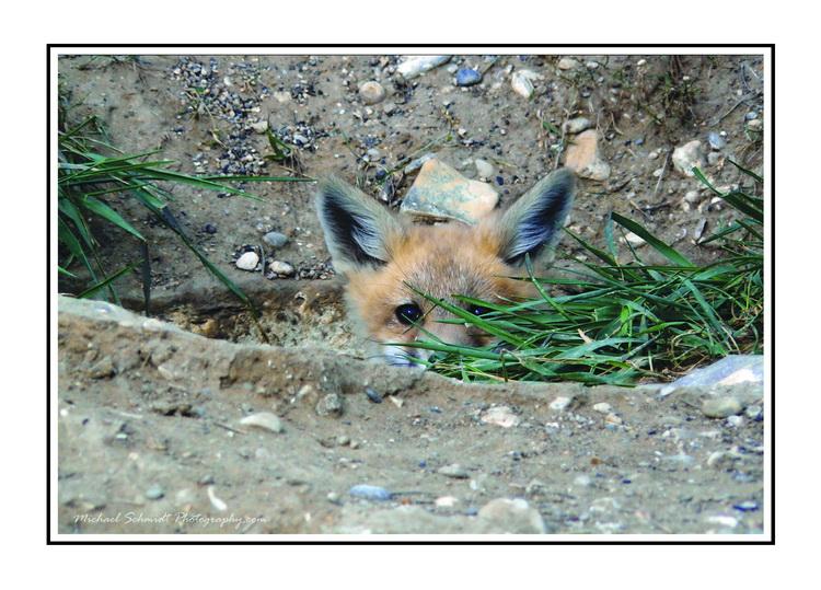 the fox cub WB_resize.jpg